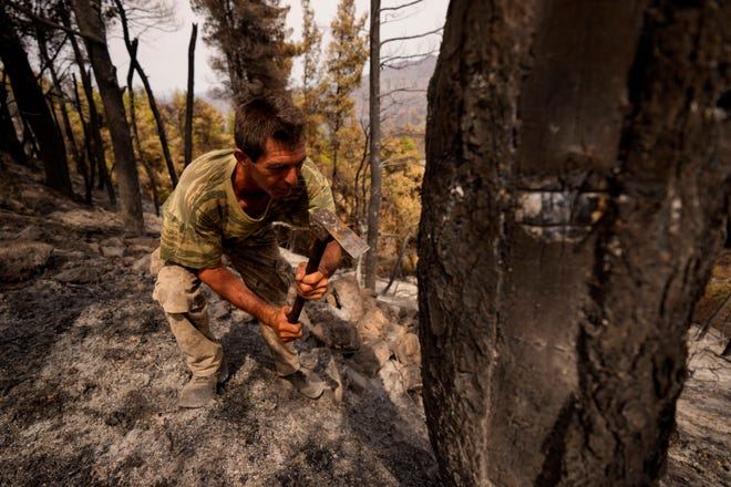 Christos Livas, 48, resin collector uses a tool on a burnt pine tree in a burnet forest near Agdines village on the island of Evia, about 185 kilometers (115 miles) north of Athens, Greece, Wednesday, Aug. 11, 2021.