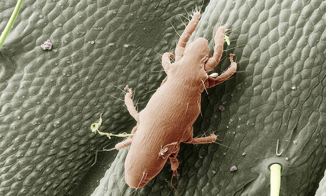 Electron microscope image of straw itch mite.