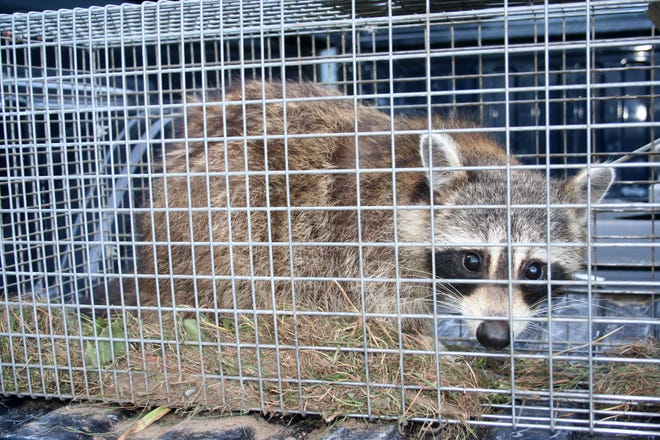 Raccoons are the animal targeted most under the South Dakota Nest Predator Bounty Program, which uses payments to encourage adults and children to trap and kill animals that prey on eggs and hatchlings of pheasants and ducks.