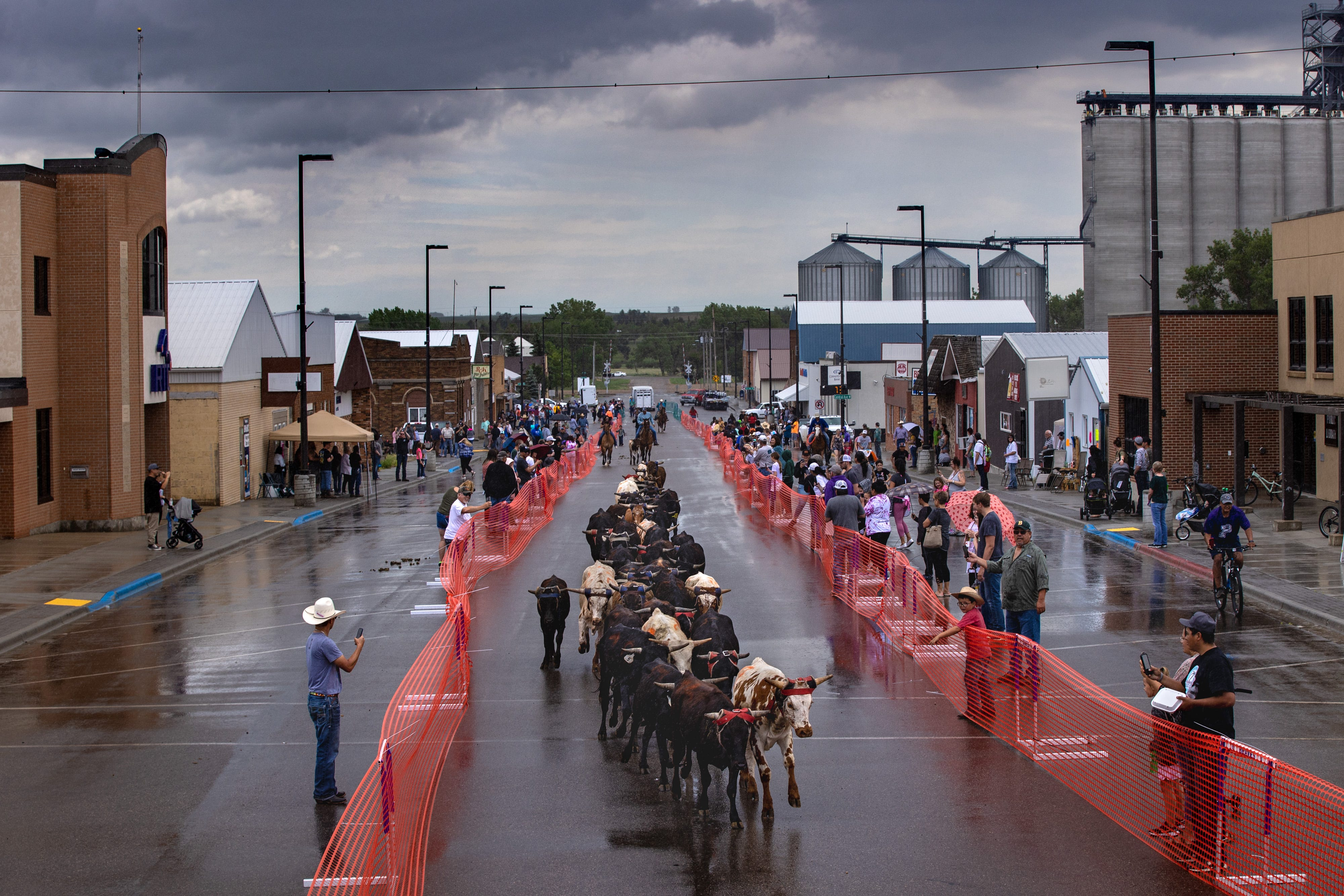"""Steers make their way down Main Street in Parshall, North Dakota during the first annual """"Running of the Steers"""" event. June 26, 2021"""