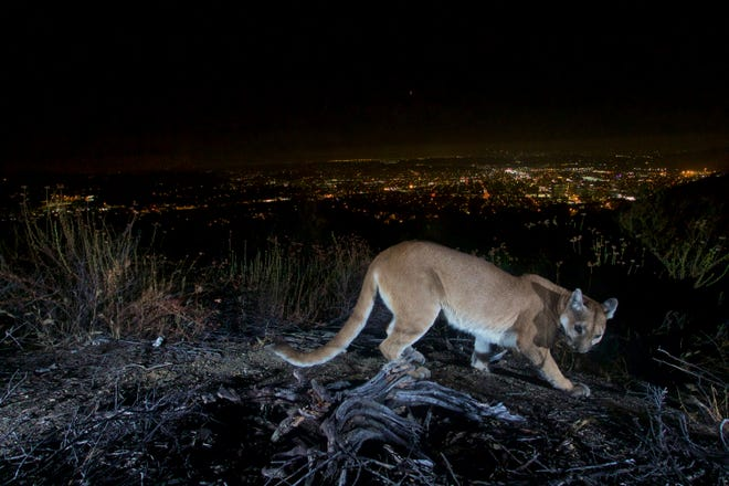 This July 10, 2016, photo shows an uncollared adult female mountain lion photographed with a motion sensor camera in the Verdugos Mountains in in Los Angeles County, Calif. Los Angeles city lights are seen in the background. A mountain lion, not pictured, attacked a 5-year-old boy and dragged the child across his front lawn in Southern California was shot and killed by a wildlife officer, authorities said Saturday, Aug. 28, 2021.