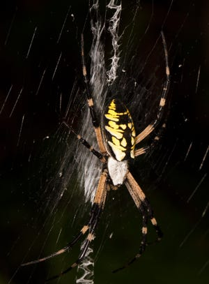 A female black-and-yellow garden spider in her web.