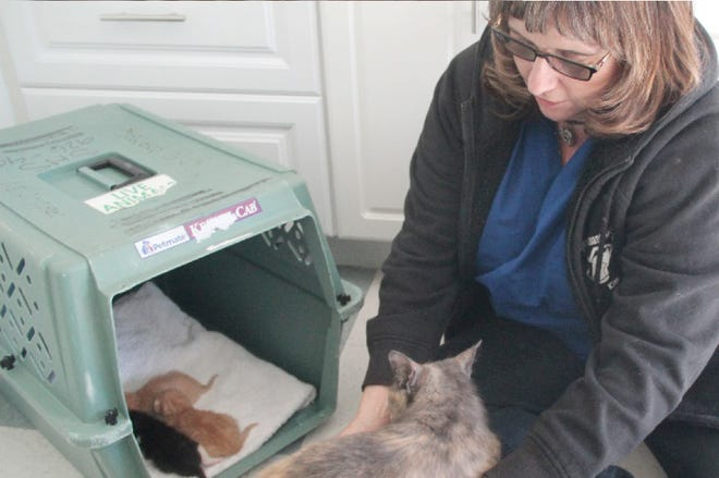 Siskiyou Humane Society shelter manager Kim Latos cares for a mama cat and her kittens at the shelter in Mount Shasta.
