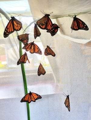 Jessica Vendetti raises monarch butterflies at her home and this year she will have released over 1,200.