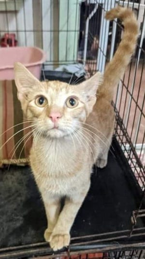 Chikis is a 4-month-old male domestic shorthair. He is very sweet and lovable. He's a playful boy. He is neutered and litterbox trained. For more information on Chikis or to adopt him, contact Erath County Humane Society at (254) 965-3247.