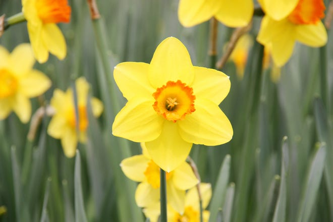 Now is a good time to divide daffodil bulbs. Be careful when digging them up. Try not to cut into the bulbs with your shovel.