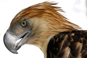 """This Sunday, March 14, 2010 file photo shows """"Girlie,"""" a Philippine Eagle at the Parks and Wildlife Center at Manila's Quezon City."""