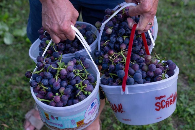 Fifty year old concord grapevine produces a bountiful harvest this summer for Jerry Apps.