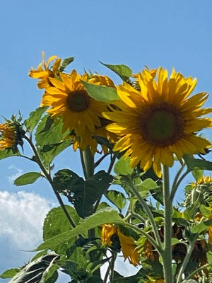 It's the season of sunflowers and they are in bloom for everyone to enjoy.