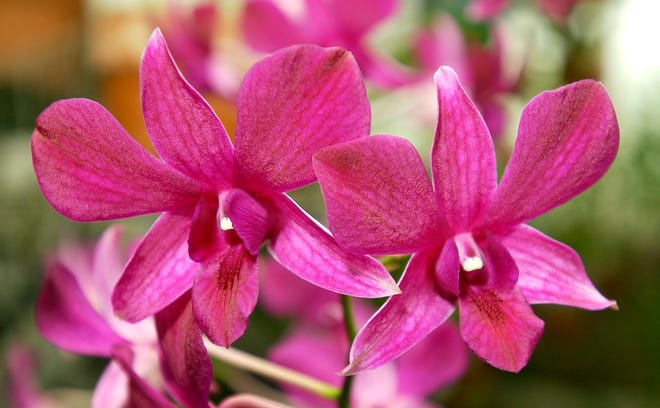 """Dendrobium orchids in an Oklahoma City greenhouse. """"Bewitched by Orchids"""" Show and Sale presented by the Oklahoma Orchid Society will be Oct. 2-3 at Will Rogers Gardens Exhibition Center, 3400 NW 36."""