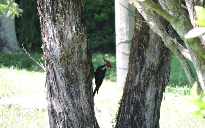 Pileated woodpecker in the Mill Creek area.
