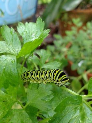 Future swallowtail butterfly in a St. Augustine garden.