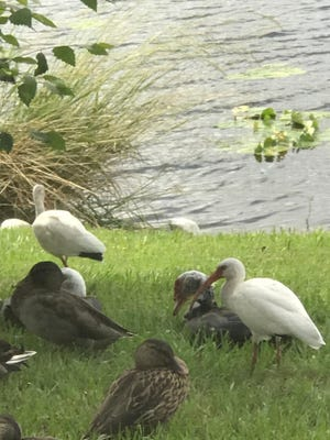 Mallard, Muscovy, and Ibis in the shade.