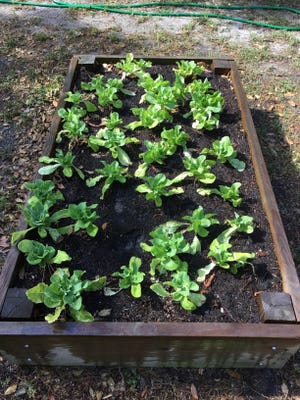 Ability Garden works with residents to grow vegetables at home.
