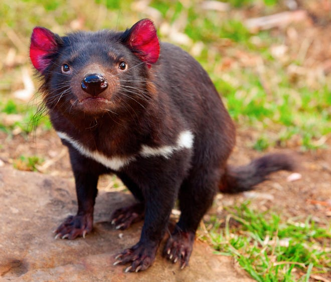 With the extinction of the Tasmanian tiger, Tasmanian devils are the largest native predators of Australia. [Submitted photo]