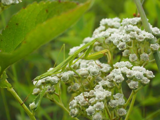 A non-native praying mantis balances between two mountain mint plants.