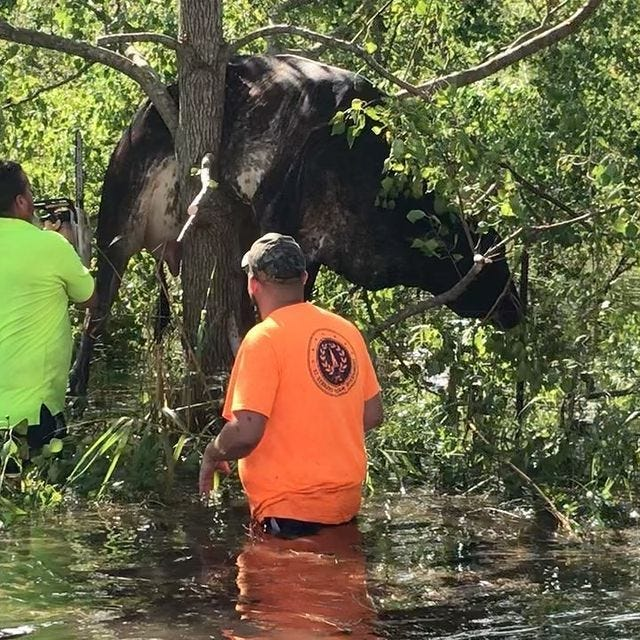 Workers in Louisiana rescued a cow that got stuck in a tree after Hurricane Ida made landfall.