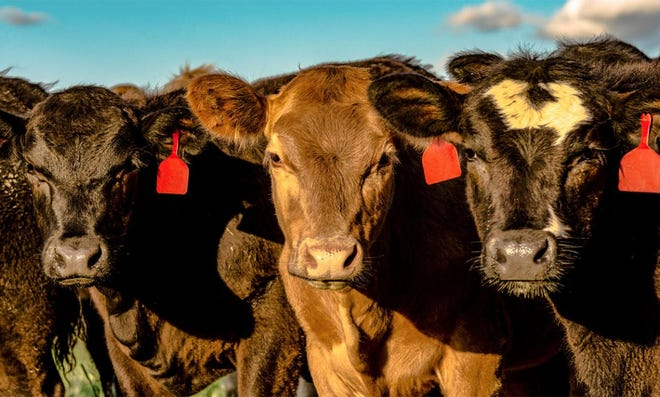 Every year, beef producers are tasked with finding the right heifers to incorporate into their herd.