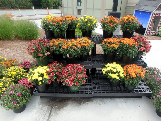 Chrysanthemums are nice fall annuals that will add color to any garden, and they're readily available.