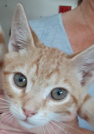 Mango, a young male domestic short hair, is available for adoption from SAFE Pet Rescue of Northeast Florida. Adoption fees are $65 for cats and $85 for kittens. Vaccinations are up to date and all cats are FELV/FIV negative. Call 904-325-0196. SAFE is at 6101 A1A South in St. Augustine.