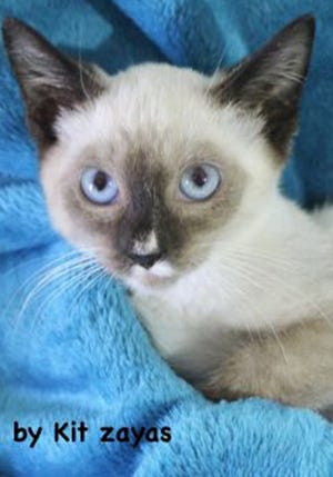 Aspen, a baby male snowshoe-Siamese mix, is available for adoption from Wags & Whiskers Pet Rescue. Adoption fees are $80 for adult cats and $90 for kittens. Routine shots, tests and deworming are up to date. Other available cats can be seen from noon to 5 p.m. Saturdays and Sundays at St. Augustine Petco in Cobblestone Plaza, 430 Cbl Drive. Call 904-797-6039 or go to wwpetrescue.org.