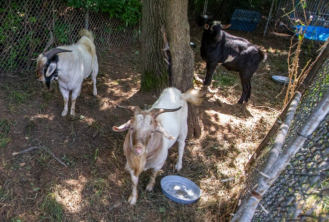 Four male goats, which were picked up last week and were held by the St. Joseph County Humane Society, have been reunited with their Lakeville-area owners.