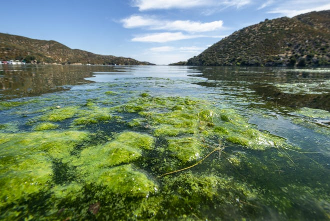 Blue-green algae floats on the surface of Silverwood Lake in  July 2019. The California Department of Water Resources advised people at the time to avoid swimming in the lake or eating fish caught there due to the bloom.