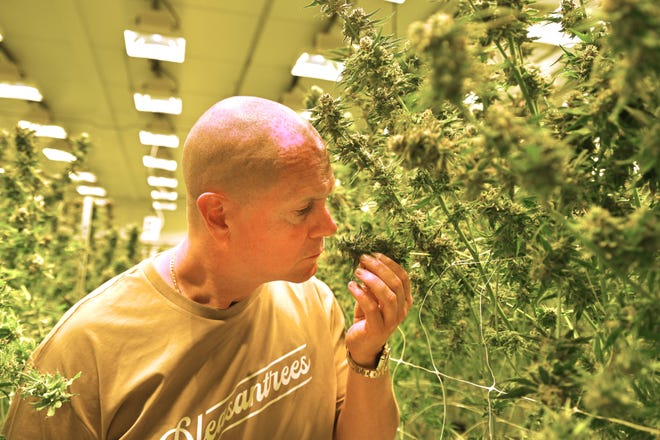 Rick Wershe smells like marijuana in the Pleasantrees flower room in Harrison Township on Wednesday September 1, 2021.  Wershe works with the company and introduces its own product brand.