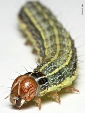 The Fall Armyworm is in its larval stage from 14 to 22 days.