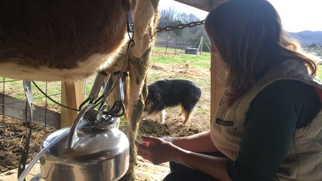 Kelly Fraser milks a cow on her farm. Kelly's dream was to leave the big city life and own a farm of her own.