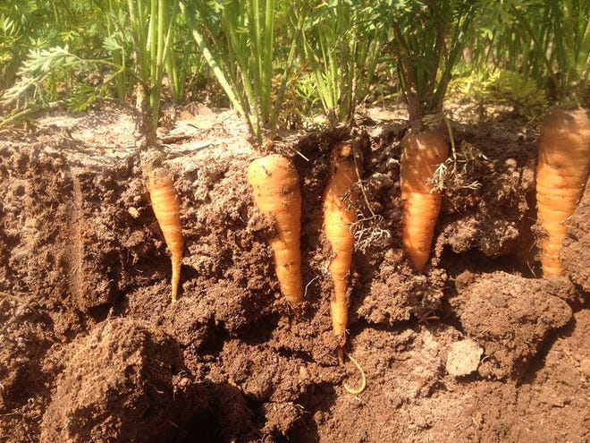 Carrots need enough space so as not to compete for light, nutrients, or moisture.