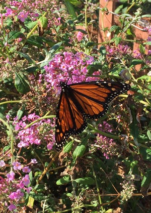 Monarch butterflies depend on milkweed for important parts of their life cycle.