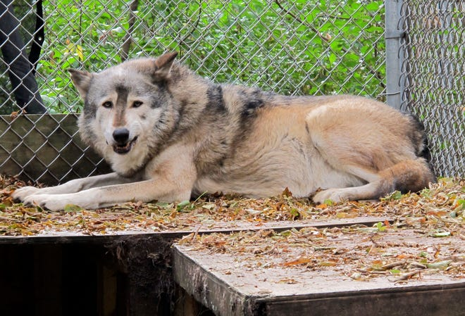 A timber wolf named Comet is seen at the Timber Wolf Preservation Society in Greendale, Wis. A coalition of animal rights groups planned to file a lawsuit Tuesday, Aug. 31, 2021, to stop Wisconsin's fall wolf hunt.