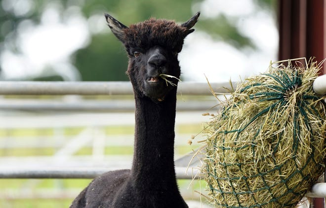 Geronimo the alpaca at Shepherds Close Farm in Wooton Under Edge village in England, Friday Aug. 27, 2021.