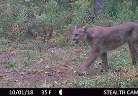 A cougar caught on a trail cam.