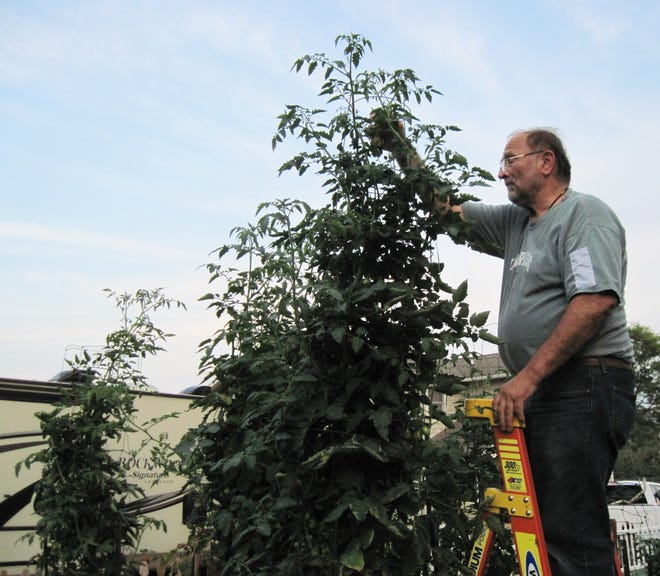 George Kaufman of Canandaigua cares for his 12-foot-high -- and growing -- yellow pear tomato plant.