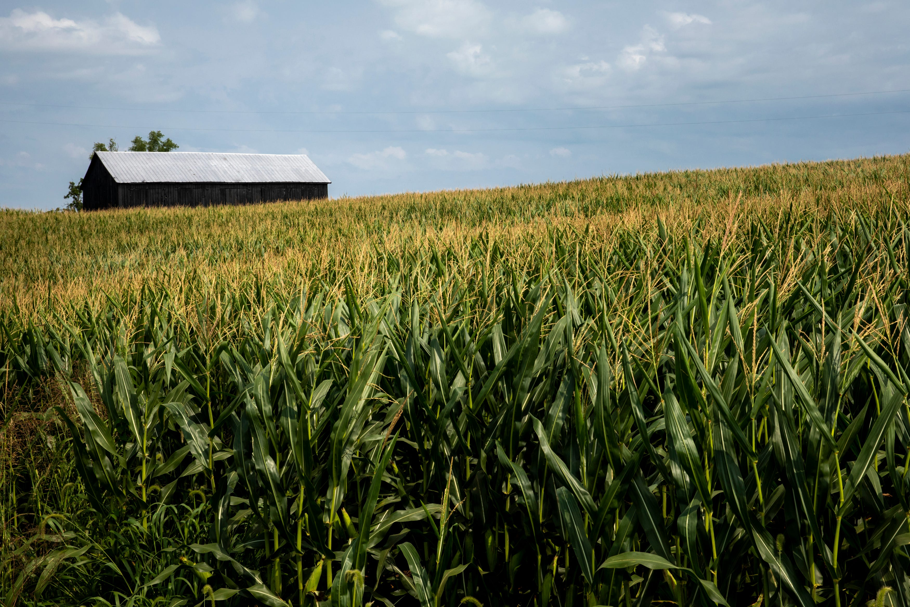 Corn grows on Susan Dycus' farm in Harrison County, Ky., on Wednesday, August 11, 2021.