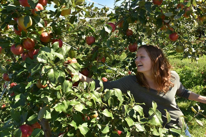 Rachel Anderson of Minneapolis picks her own apples at Lautenbach's Orchard County in Fish Creek in this file photo. Apples are ripening earlier than usual and several orchards already have started pick-your-own seasons for some apple varieties.