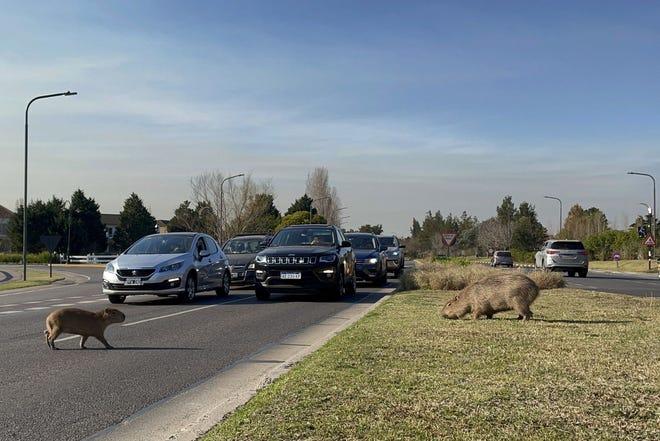 Los habitantes de Tigre, Buenos Aires, se quejaron de la intrusión de capibaras en la ciudad.
