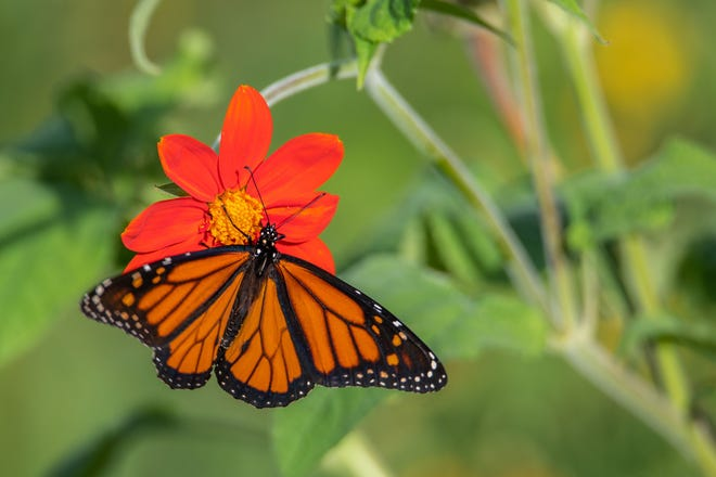 Pflugerville officials said a butterfly sanctuary created this spring brought four species of butterflies, numerous species of dragonflies, pollinators and 12 successful monarch metamorphoses.