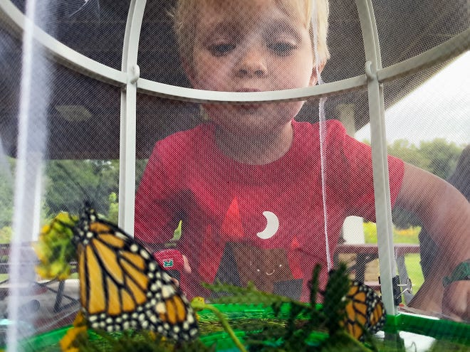 Three-year-old Abel Wilson of Galesburg peers at a pair of Monarch butterflies during a preschool-age nature program presented by the Knox County Ag in the Classroom at the Lakeside Nature Center on Friday.