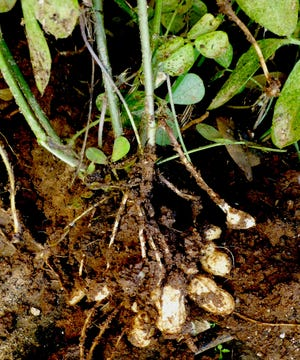 Peanuts are warm-season legumes that give gardeners another rotation crop in the summer garden. These freshly dug peanuts will be allowed to dry before the kernels (peanuts) are cracked open from the pods to roast and enjoy.