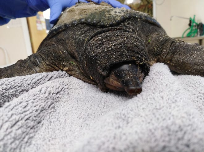 A turtle suspected to be infected with the turtle bunyavirus. The virus, dubbed TBV, can cause lethargy, disorientation and, ultimately, death. Courtesy the Florida Wildlife Hospital, Palm Shores