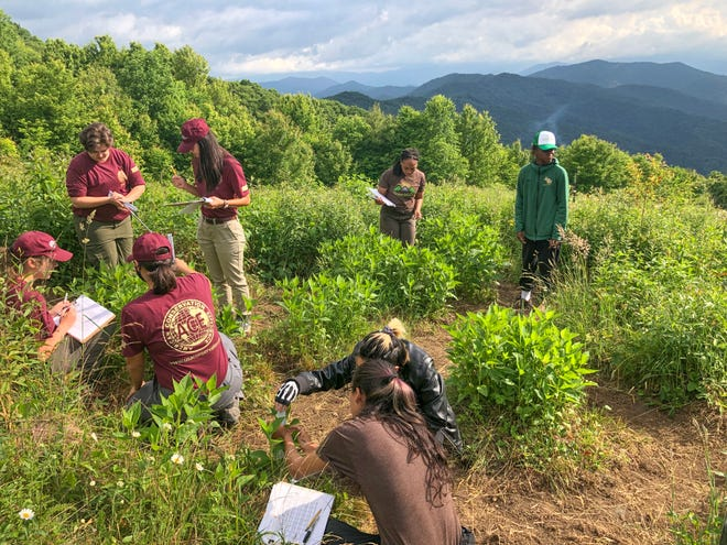 Teen Leaders in Conservation work alongside interns from Asheville Greenworks in the park's Ozone Garden looking for the effects of ground-level ozone on sensitive crownbeard plants.