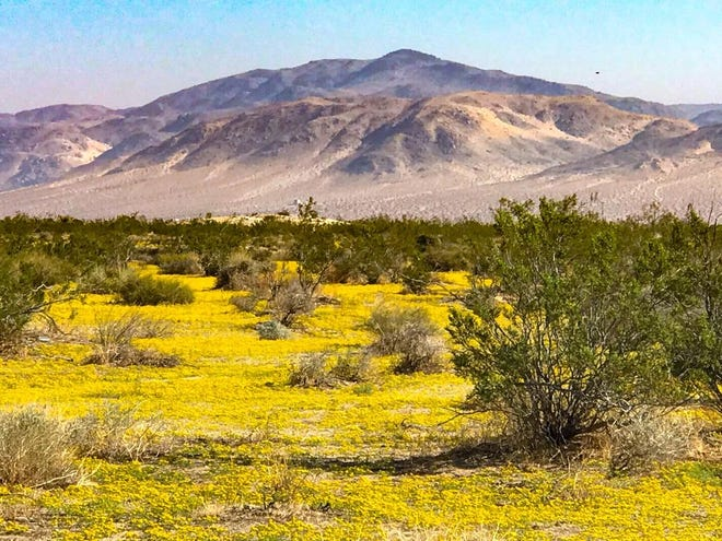 Carpets of chinch weed, which only bloom in the California desert after monsoonal summer rains, abloom outside of Landers. Aug. 26, 2021
