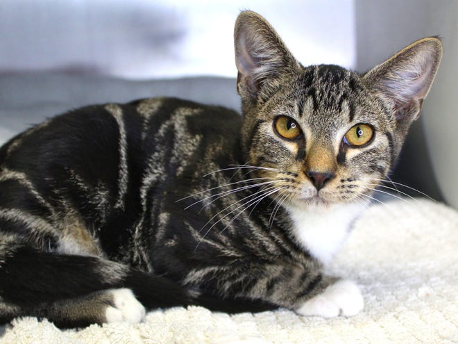 Placido's adoption fee would be $20, which includes his neuter surgery, vaccines, and microchip + registration.
