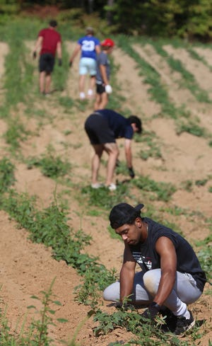 Lenny Washington and other members of the Gardner-Webb baseball team pick weeds for the Cleveland County Potato Project Saturday morning, Sept. 4, 2021, in a potato field on Hamrick Road in Shelby.