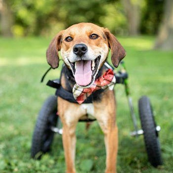 Boone, the Hero Dog nominee, uses a wheelchair to get around his backyard.