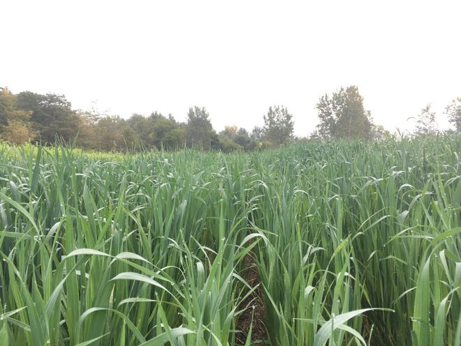 Oats are an excellent cover crop.