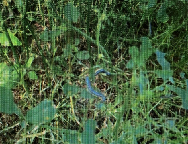 Within just a few days, armyworms removed 80% of the alfalfa leaf in a field that produced three cuttings of first-year alfalfa prior to the arrival of the pest.